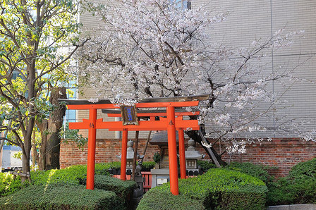 稲荷神社の桜