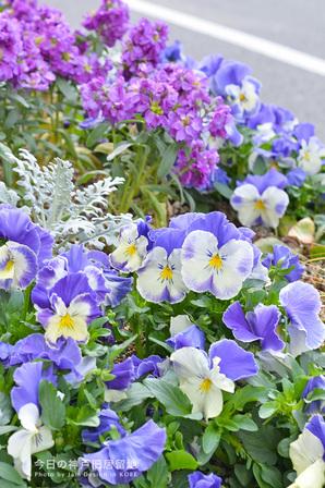 京町筋の道路沿いの花