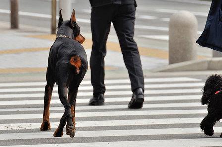 歩道を渡るドーベルマン