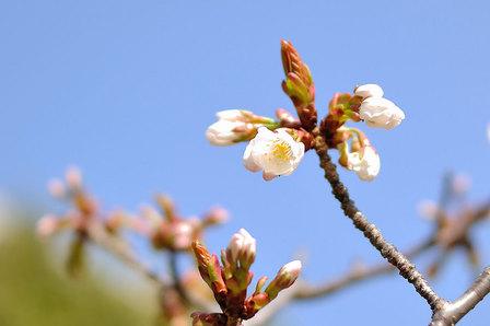 桜ほころびる