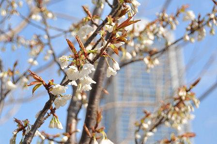 うなだれた桜