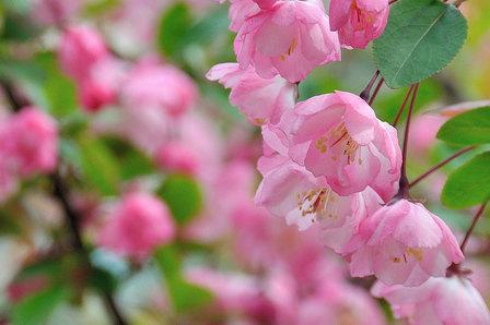 ハナカイドウ咲く