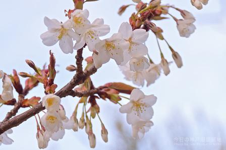 東遊園地の桜