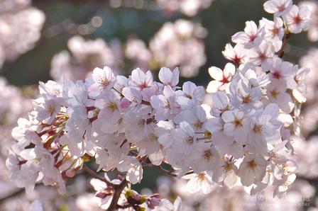 3日連続の桜便り
